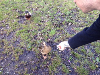 Jeff feeding a female duck along the way with her faithful companion looking on.