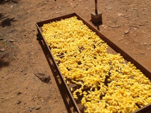 Silk worms drying in the sun.