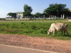 Cows grazing on the side of the highway in Siem Reap.