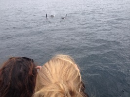 The orcas coming up to the boat.