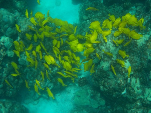Schools upon schools of yellow tang.